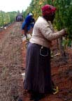 Woman farmworker